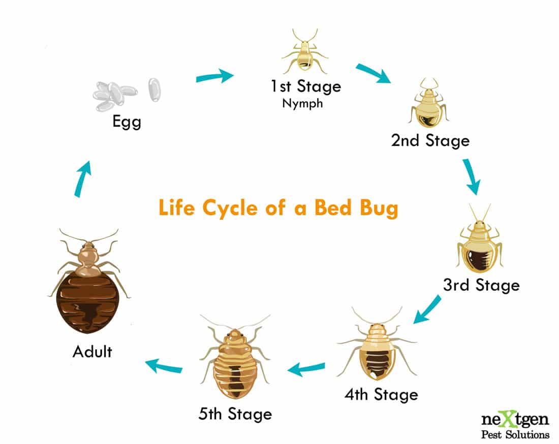 Image showing the complete lifecycle of a bed bug