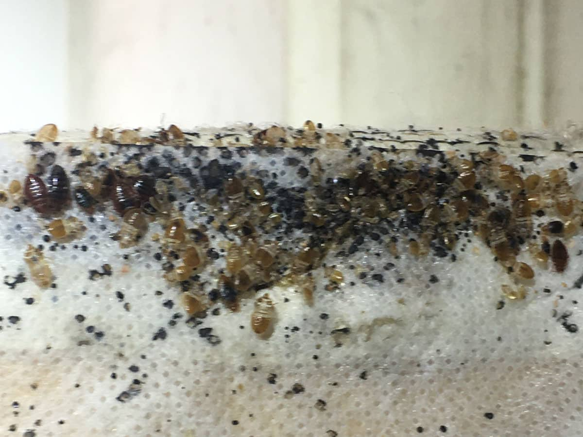 Live and dead bed bugs on the outside of a mattress