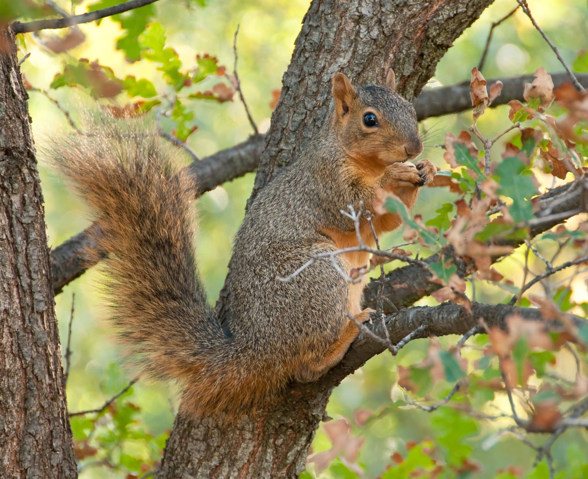 squirrel a eating nut on a tree